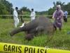 """""""상아 때문에"""" 인니 수마트라 코끼리 머리 자른 일당 체포"""