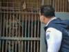 '코로나 급증' 인도네시아, 동물원 호랑이 두 마리도 감염
